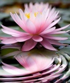 La flor de loto, una planta acuática habitual en los estanques   EROSKI CONSUMER