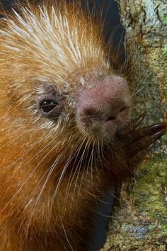 Nosey Porcupine (so boopable)