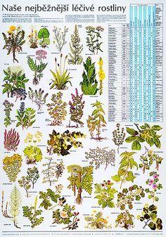 Naše nejběžnější léčivé rostliny - nástěnná tabule ( 67x96 cm ) | ALBRA - Prodej…