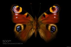 Peacock Butterfly by EncroVision
