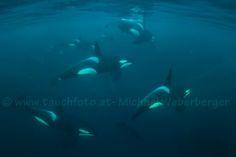 5-11-2016, Orcas off Tromsø, Norway by Michael Weberberger.