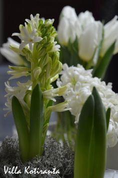 Valkoiset hyasintit ja tulppaanit jouluksi / White hyacinths and tulips for Christmas White Hyacinth, Christmas Table Settings, Christmas Home, Tulips, Flower Arrangements, Flowers, Plants, Floral Arrangements, Plant
