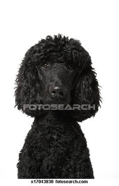 Standard poodle Stock Photos and Images. 260 standard poodle pictures and royalty free photography available to search from over 100 stock photo brands. (Page 2)