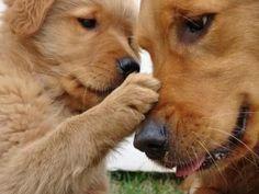 golden retriever puppy <3 by eugenia #GoldenRetriever #goldenretrieverpuppy