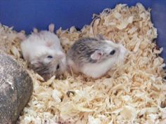 Hamster Bedding - How to Take Care of a Hamster