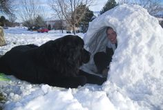 This Newfie is exactly where he should be--in the snow with his person!