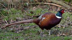 Pheasants are so beautiful!