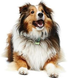 My first dog was a collie. When we had to find him another home it broke my heart.