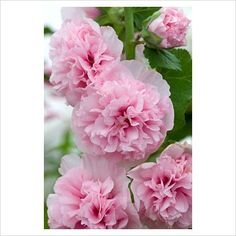 Hollyhock - Alcea rosea 'Apple Blossom'