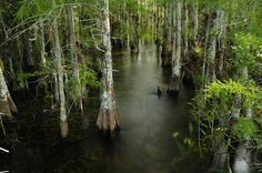 Everglades Cypress Trees | Cypress Trees In The Everglades Photograph - Cypress Trees In The ...