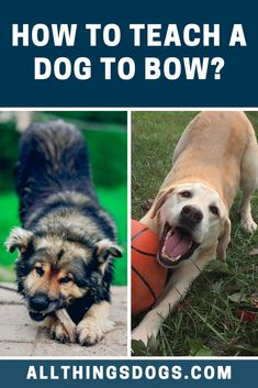 With the Bow dog trick, you can teach your dog to bow, lowering their front half of their body down whilst keeping their bottom in the air. Read our simple step-by-step instructions on how to teach a dog to bow.  #dogtricks #howtoteachadogtobow #bowdogtrick