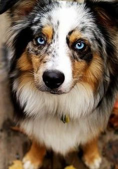 Awesome blue Merle.