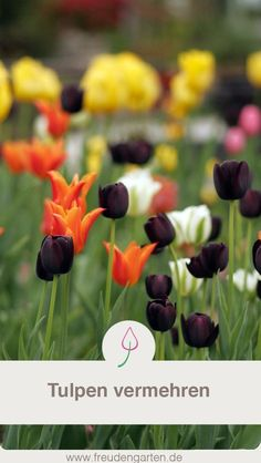 Multiply tulips by sowing or onion in the garden Effective Garden Edging, Propagation, Outdoor Projects, Garden Plants, Most Beautiful Pictures, Outdoor Gardens, Tulips, Fruit, Gardening