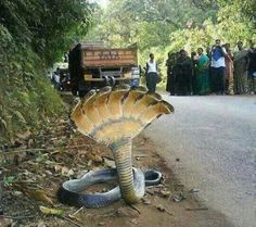 Amaizing clips: Amazing 7 Headed Snake In India Giant Animals, Rare Animals, Unique Animals, Animals And Pets, Extinct Animals, Cute Reptiles, Reptiles And Amphibians, Funny Animal Memes, Funny Animals