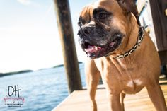 Pet Photography | © 2013 Justin Hunt of Owen Hunt Photography | Dogs | Boxers | Clearwater, FL | @DieselK9to5 | #DiggyDiesel | #BoxersRock | #DogFriendlyFL