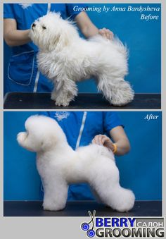 Beeshey Beeshey Bichon before and after. Новости