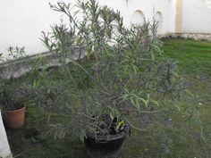 Leander metszése – Nőknek kertről. Marvel, Plants, Minden, Tea, Planters, Teas, Plant, Planting