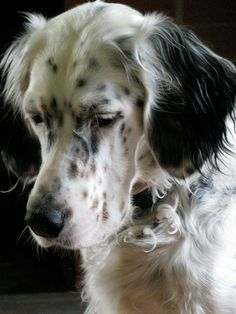 Setter Cute Cats And Dogs, All Dogs, Animals And Pets, Best Dogs, Dogs And Puppies, Cute Animals, Irish Setter, English Setter, Gordon Setter