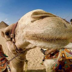 When you're trying to get a photo of the Pyramids but this guy insists on a photo  Have you gone on a camel ride around the Great Pyramids of Giza?