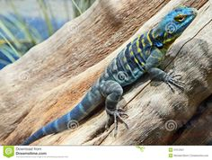 Colorful Lizards | Close Up Of Colorful Lizard On Tree Branch.