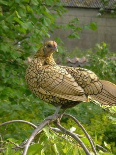 Golden Sebright Hen