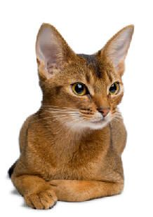 "Abyssinian, although they really come from Nepal and northern India.  Beautiful and smart.  This could be Assassin. * * "" I'VE GOTZ DE NAME AND ADDRESS. NOWZ I NEED A PHOTO."""
