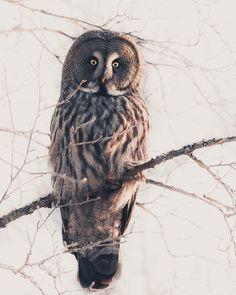 """Konsta Punkka har delat ett foto på Instagram: """"~ Found my favorite owl today. Great Grey owl watching my moves 🦉"""" • Visa 1,625 foton och videor i hens profil. Great Grey Owl, Gray Owl, Midnight Sun, Punk, Bird, Adventure, My Favorite Things, Animals, Instagram"""