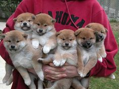 shiba inu puppies--that would be a crazy house with this many shibas! Shiba Inu, Chien Akita Inu, Shiba Puppy, Shih Tzu Puppy, Puppy Cam, Cute Puppies, Cute Dogs, Dogs And Puppies, Doggies