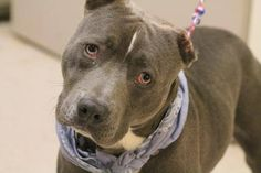WILL DIE THERE>NAME: Martin  ANIMAL ID: 27848771  BREED: Pit  SEX: male  EST. AGE: 2 yr  Est Weight: 50 lbs  Health: heartworm neg  Temperament: dog friendly, people friendly  ADDITIONAL INFO: RESCUE PULL FEE: $49  Intake date: 5/15  Available: 5/21