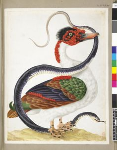 Muscovy duck standing on the head of a snake, the tail in its mouth, illustration by Maria Sibylla Merian from Insects of Surinam, ca.1701-05. German School. Watercolour and bodycolour, heightened with white and gold, on vellum