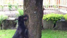 Un écureuil à rendu fou un chien autour d'un arbre - http://www.newstube.fr/ecureuil-a-rendu-fou-chien-autour-dun-arbre/ #Chien, #Écureuil, #VidéosChien, #VidéosÉcureuil