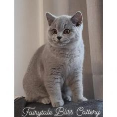 Pisicile noastre – Fairytale Bliss Cattery Cattery, British Shorthair, Bugatti, Fairytale, Bliss, Cats, Animals, Fairy Tail, Fairytail