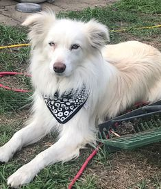 Very Light Blonde&White Counrty Border Collie at Rest. Cute Puppies, Dogs And Puppies, Cute Dogs, Doggies, Border Collie Puppies, Border Collies, Farm Dogs, Real Dog, Sheltie