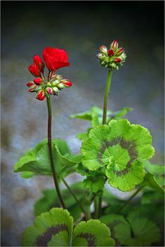 Geranium | Flickr - Photo Sharing!