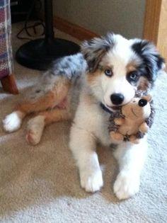 Australian Shepherd Puppy & toy hedgehog!
