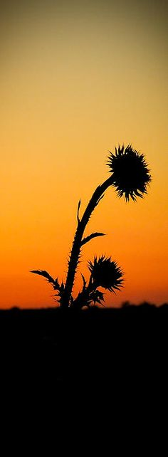 A thistle with the setting sun in the background. Cuttings, Serenity, Calm, Silhouette, Wall Art, Sunset, Orange, World, Amazing