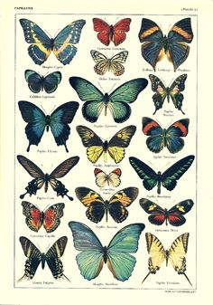 Vintage BUTTERFLIES illustration - Antique French dictionary print - illustration Your place to buy and sell all things handmade Illustration Papillon, Illustration Botanique, Butterfly Illustration, Botanical Illustration, French Illustration, Vintage Butterfly, Butterfly Art, Art Papillon, Impressions Botaniques