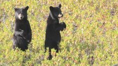 """Résultat de recherche d'images pour """"ours noir"""" Bear Gallery, Black Bear, Images, Animals, American Black Bear, Dating, Search, Animales, Animaux"""