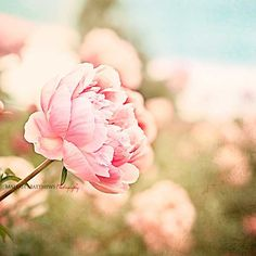 Pink Peony Flowers Spring Photography - pink, peach, blue, and green wall art photo, baby nursery print, vintage chic home decor - 8x8. $30.00, via Etsy.