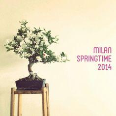 25 yo Bonsai Blossoms interior springtime in Milan
