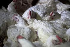 Industry facts about chickens raised for meat