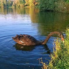 #Milano#milano#natura#nature#lago#specchiodacqua#lake#cignonero#swan#blackswan#vivomilano#milanodavedere#alliwannadoisridebike by franci_telmon