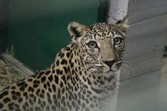There are fewer than 200 Arabian leopards remaining in the mountains of Yemen and Oman.