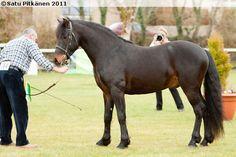 Connemara - stallion Truskan Boy