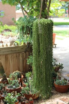 "Magnificent Senecio rowleyanus ""String of Pearls"" Photo: https://cactusarecool.wordpress.com/tag/succulents-to-substitute-for-annuals-for-summer-color-and-greenery/ #succulent_stringofpearls #senecio_rowleyanus  #hangingsucculents"