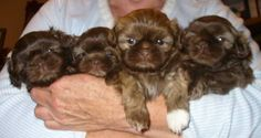 Chocolate Shih-tzu Puppies!