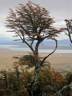 Ancient tree - Patagonia Chile