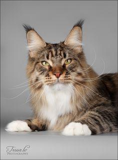 Если мне кто когда кота вздумает подарить, то вот такого, как этот серый, пожааааалуйста! Кто любит кошье племя, вам сюда, к Тессе. Оригинал взят у tessochka в post…