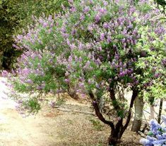 """Silver Bush Lupine, California native, full sun, blooms spring-august, 3-5' tall. """"Use as a small screen """", evergreen, fragrant"""