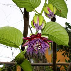 Many rare and unusual varieties. Ripe Fruit, Green Fruit, Seed Catalogs, Exotic Fruit, Flowering Vines, Passion Flower, Container Plants, Fruit Trees, Gardening Tips
